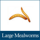 Large Mealworms